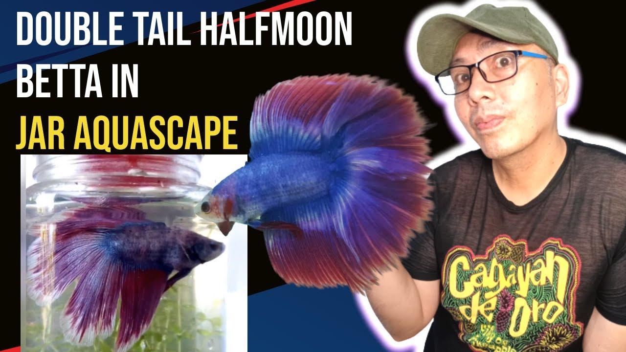 How to care for betta fish double tail halfmoon that you need to how to care for betta fish double tail halfmoon that you need to know sciox Image collections