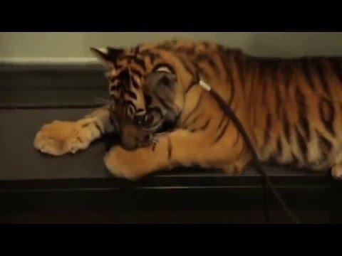 BABY SUMATRAN TIGERS!