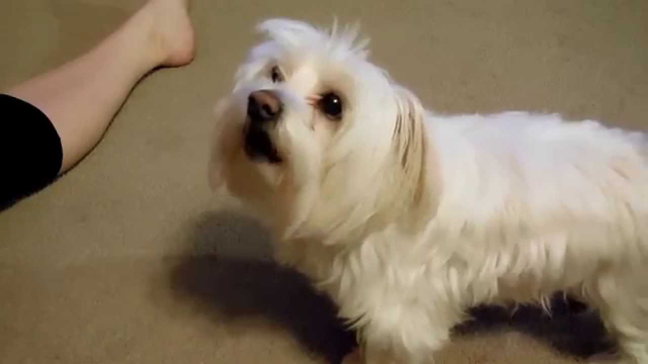 maltese barking maltese puppy dog singing barking along to happy birthday 5915