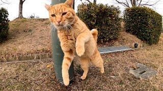 公園の茶トラ猫をナデナデしたらゴロゴロと喜んで付いてきてカワイイ
