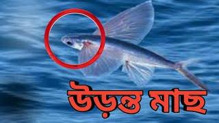 ||অদ্ভুত রহস্যঘেরা এই উড়ুক্কু মাছ||This flying fish with strange mysteries||