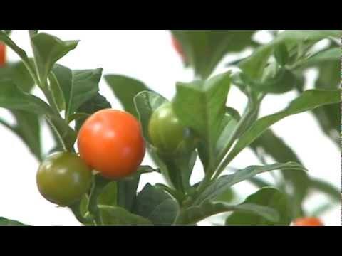 CIFO - Ascolta le tue piante - Il Solanum