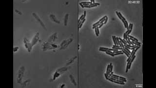 Exploding bacteria with penicillin
