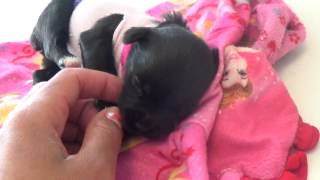 Yorkie Poo Puppies For Sale In Austin, Tx - Meet Mercedes