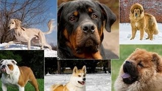 Most expensive dog breeds - Top 10