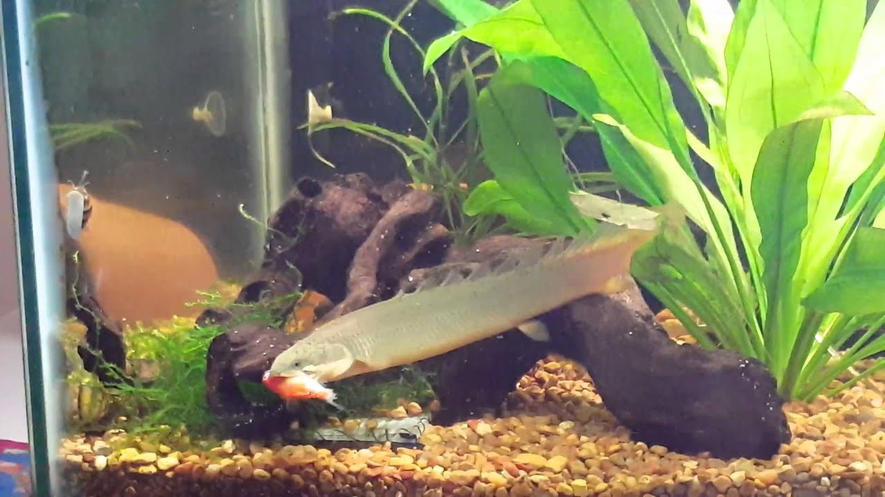 Senegal Bichir Eats Goldfish For 1st Time Youtube