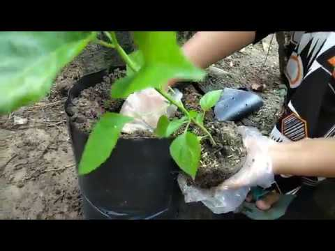 Tanaman Cabe Rawit Agar Tumbuh Subur di Polybag
