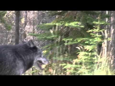 Bow Valley Wolf Pack Sighting Near Sunshine Village, Banff Alberta 2011-09-25