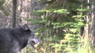 Bow Valley Wolf Pack Sighting Near Sunshine Village, Banff Alberta 2011-09-25