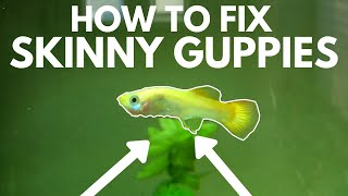 How to Fix Skinny Guppies in an Aquarium