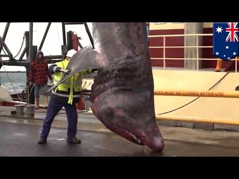 Shark! Rare, giant 40-foot basking shark caught off southern Australia - TomoNews