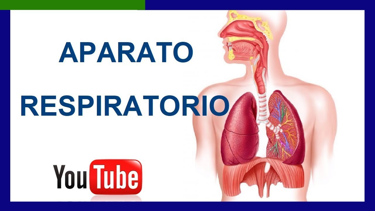 Partes del Aparato Respiratorio y sus Funciones - YouTube