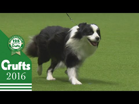 Border Collie wins the Pastoral Group Judging   Crufts 2016
