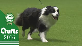Border Collie wins the Pastoral Group Judging | Crufts 2016