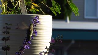Project Successful! Hummingbird feeding at the flowers at my new balcony garden