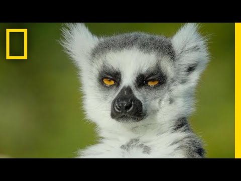 Adorable Lemurs Roam Free on This Ancient Island | Short Film Showcase