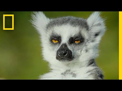 Adorable Lemurs Roam Free on This Ancient Island   Short Film Showcase