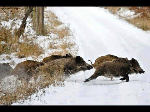 Охота на кабана,одна