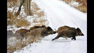 Охота на кабана,одна из лучших.