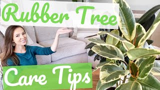 How to CARE for RUBBER TREE Plants | Care Tips for Houseplants