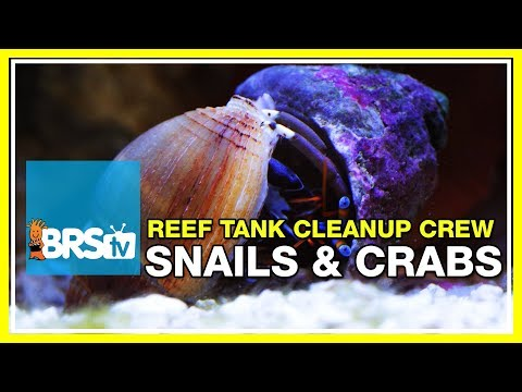 Week 23: Reef tank clean-up crews: 40 or 400? | 52 Weeks of Reefing #BRS160