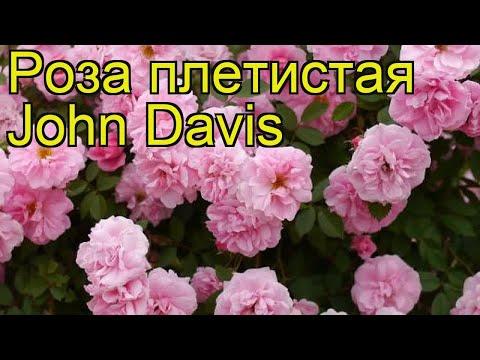 Роза плетистая джон дэвис (John Davis). Краткий обзор, описание характеристик, где купить саженцы