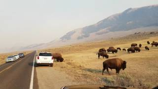 Bisons crossing the road in Yellowstone National Park
