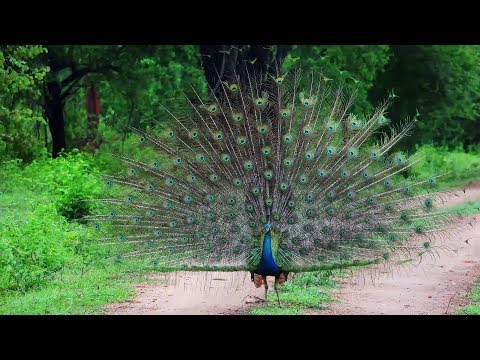 Most Amazing And Beautiful Peacock In The World Youtube