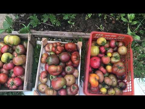 Заказ семян томатов редких коллекционных сортов на 2019