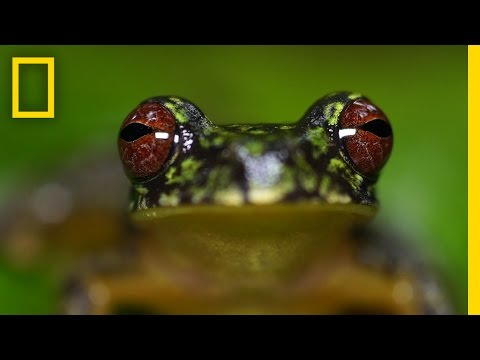 Stunning Close-ups: Meet These Frogs Before They Go Extinct | National Geographic