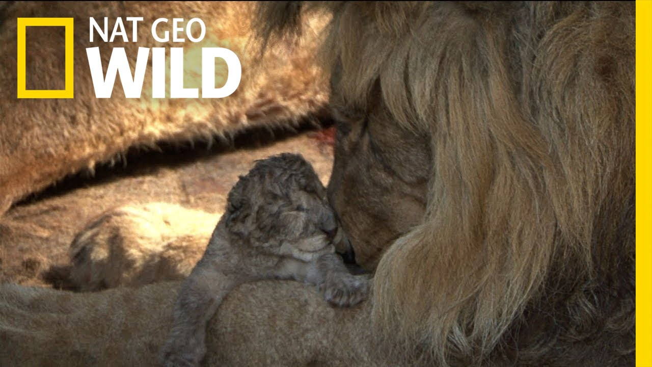 Captive Lion Cubs The Elephant In The Living Room Youtube