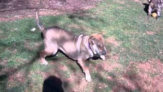 Sable - Shar-pei Rescue Of Virginia