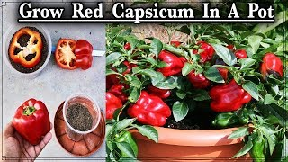 How to Grow Red Capsicum In A container ll How to Grow Red Bell pepper plant free of cost