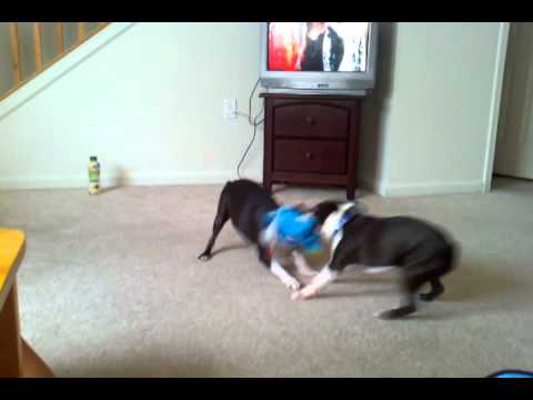 English Terriers go at it