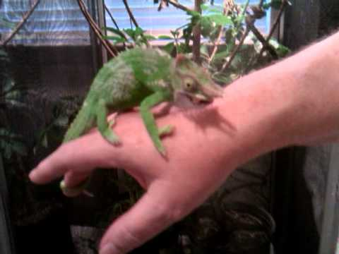Fischer chameleon eating a cricket youtube fischer chameleon eating a cricket thecheapjerseys Choice Image