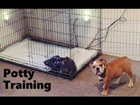 english bulldog potty training how to potty train an english bulldog with the puppy 230