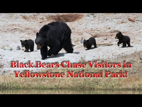 Black Bears Chase Visitors In Yellowstone National Park (Video)