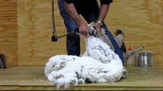 ニュージーランドで見た羊の毛刈りショーです。羊は、1年に一度、毛刈...