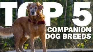 Top 5 Companion Dog Breeds