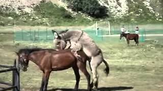 At Ve Eşek çiftleşme Horse And Donkey Mating YouTube