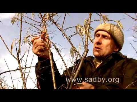 Облепиха. Обрезка плодовых кустарников. Урок 4. Автор Николай Рабушко. ©