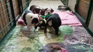 Английский бульдог щенки. Шоколад  триколор и черный триколор, носители тройного окраса