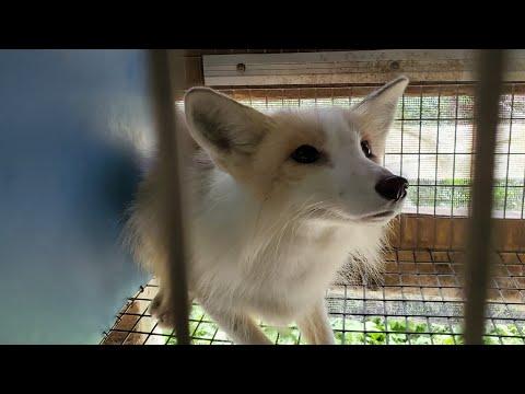 Rescued 20 furfarm foxes!