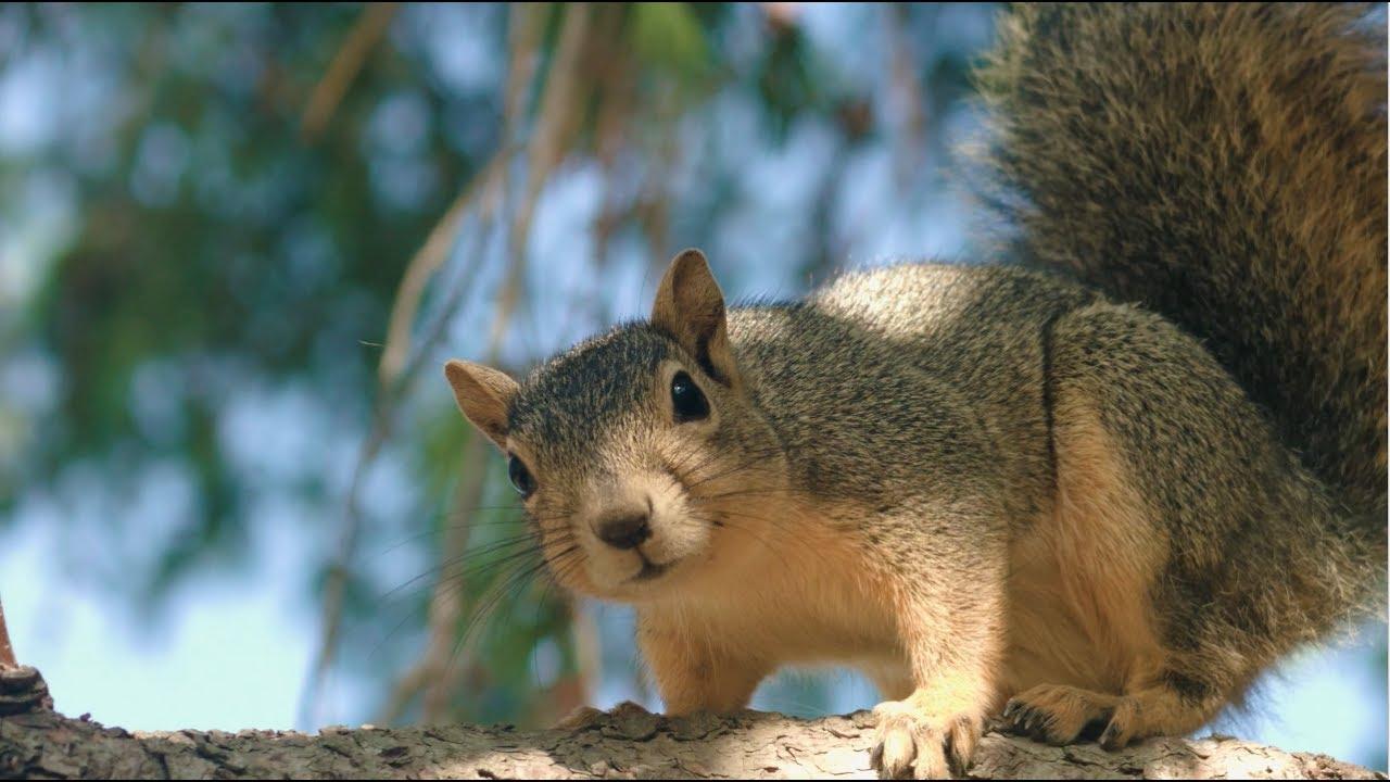 What dream squirrel