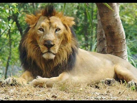 Asiatic Lion of Gujarat, India