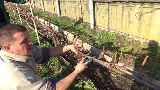 Короткая обрезка винограда на рожки