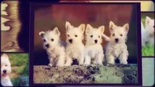 How To Train West Highland White Terrier