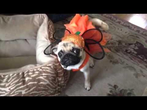 Maisy the Crazy Pug Pumpkin Costume Halloween! & Maisy the Crazy Pug Pumpkin Costume Halloween! - YouTube