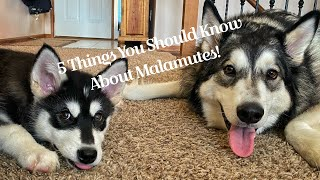 What it's like living with a Malamute and 5 things you should know about them!