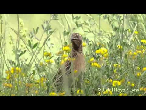 Common quail sound  HD